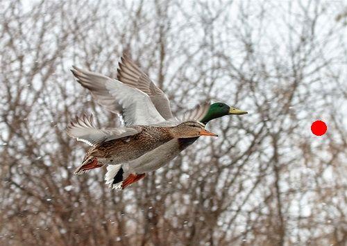 Как правильно стрелять по уткам и гусям влет? Видеоурок