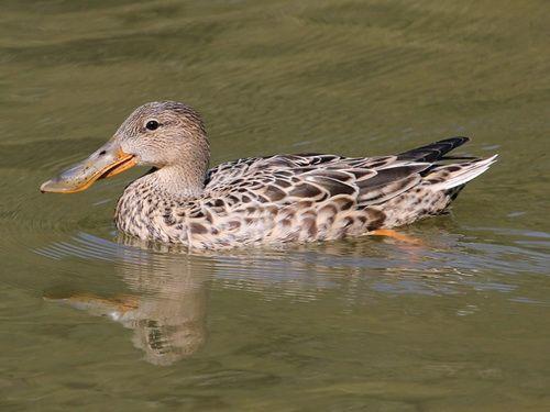Утка широконоска - описание вида, места гнездования, питание, особенности